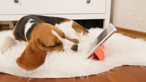Young sweet beagle dog sleep against tablet, long cute plush ears spread around. Lovely pet bored of browsing and watching movies, go offline by falling asleep