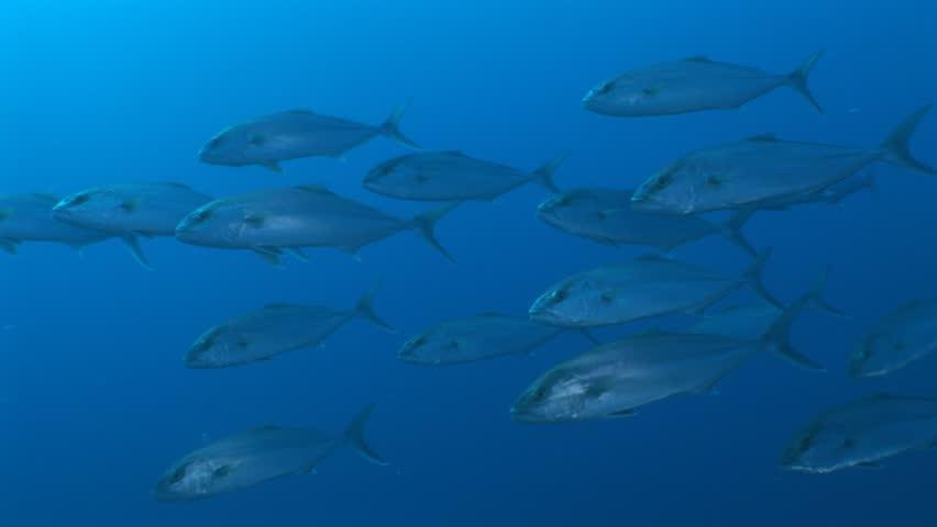 Jack fish big underwater jackfish