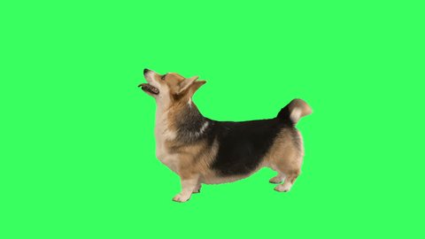 welsh corgi stands on green screen