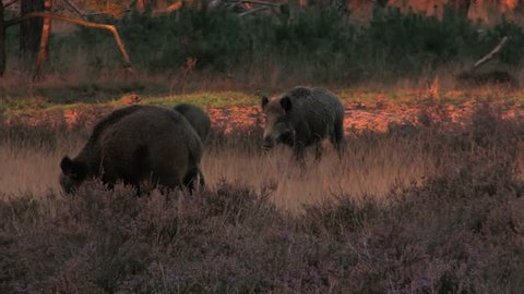 5 wild boars in the moorlands, early evening - wildlife