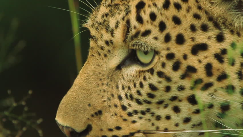 CU beautiful male leopard (Panthera pardus). This leopard is wild and filmed on location in Kruger National Park with no interference from our film crew, contact us for a copy of the film permit.