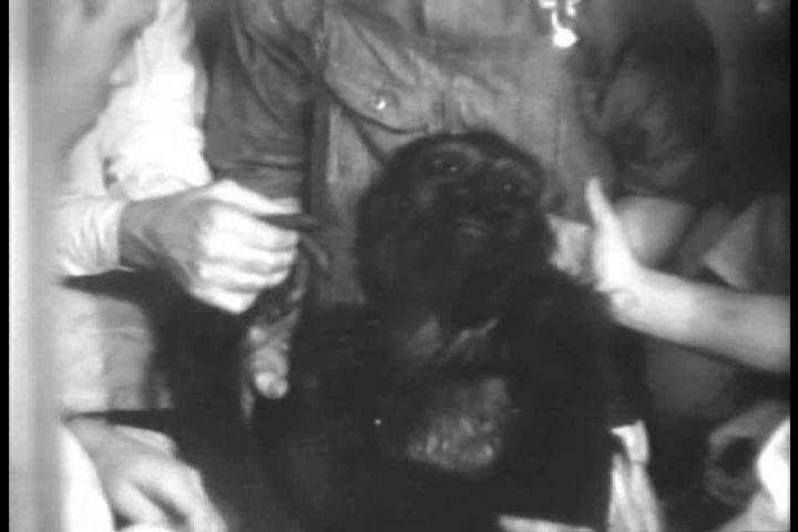 CIRCA 1930s - A young gorilla undergoes an operation as people and animals hope for his recovery, in a zoo in Washington, D.C. in 1932. | Shutterstock HD Video #31888207