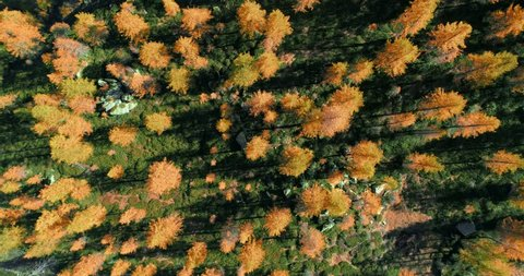 Overhead aerial top view over orange and red larch tree forest woods in sunny autumn.Europe Alps outdoor colorful nature scape mountains wild fall establisher.4k drone flight establishing shot