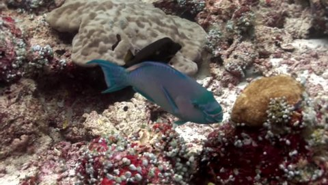 Parrot fish eats corals underwater on background of amazing seabed in Maldives. Unique video footage. Abyssal relax diving. Natural aquarium of sea and ocean. Beautiful animals.