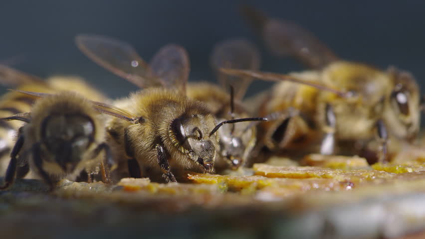 Cinematic shot of golden bees eating royal jelly over a blue background