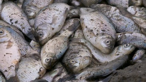Fish dying in polluted water