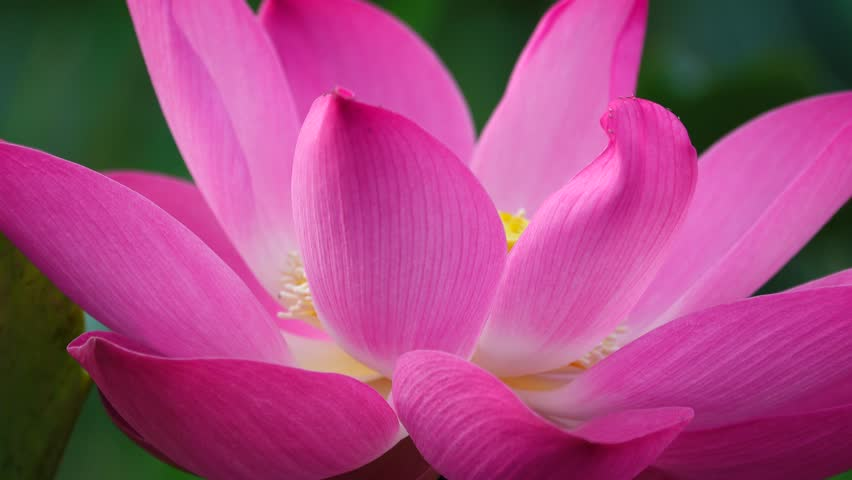 Time lapse opening of water lily flowerlotus flower stok video klip beautiful flowers background beauty blossom pink lotus flower yellow pistil with green leaf background mightylinksfo