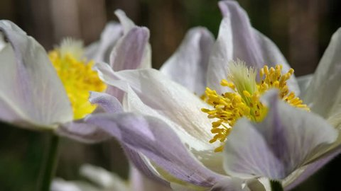 Close-up video of spring-flowering pasque Pulsatilla flowers in the pine forest at Spring time
