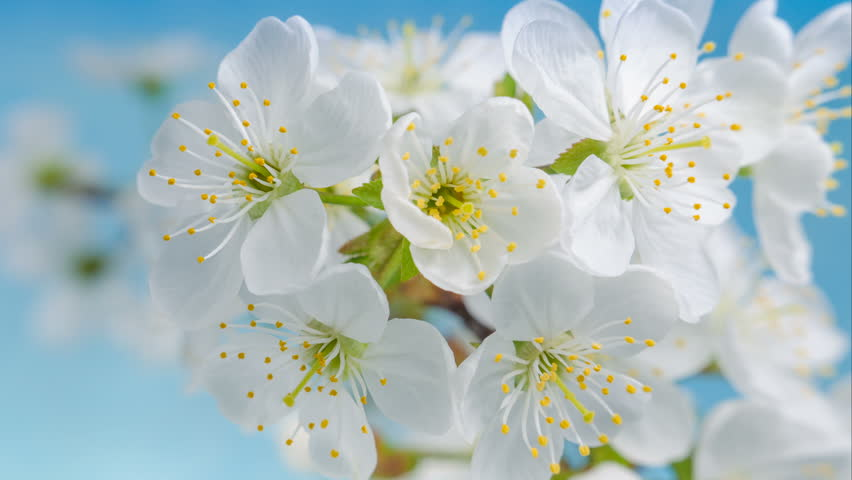 Flowers Cherry flowering. White flower sakura. Timelapse. Tree flowering. Nature.