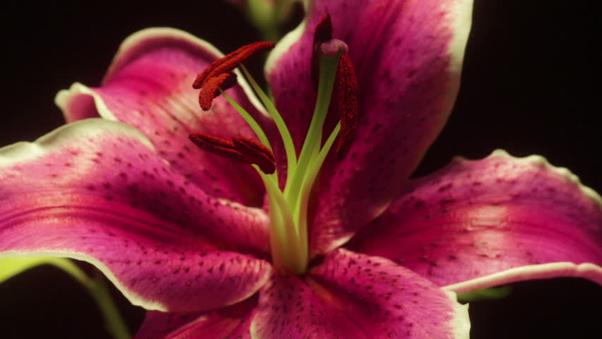 Pink Lily Time-lapse