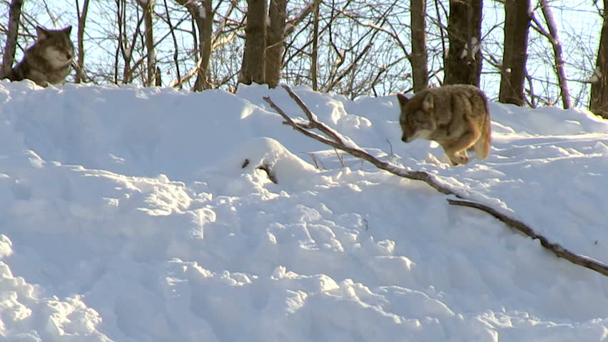 Grey wolf pack in winter going down hill