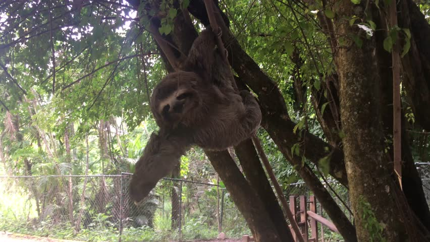 Happy Sloth in the tree