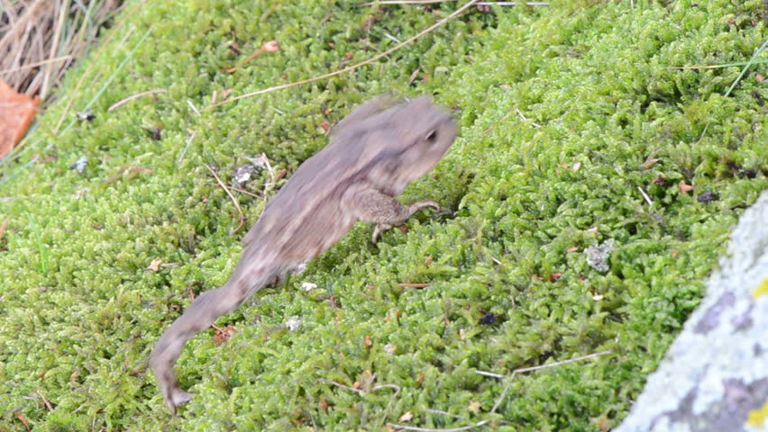 Header of Amphibia