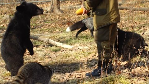 Zookeeper is giving two cute himalayan black bear cubs halves of melon. Funny racoon is ckecking what cubs get. Primorsky Safari Park founded as animal shelter for abandoned or injured animals. Russia