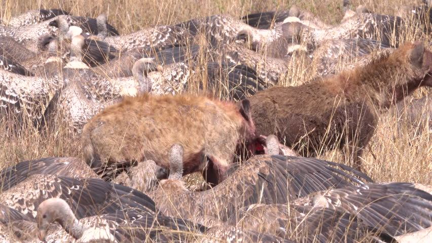 Heyna,  two hyenas fight with vultures and marabou for hunted zebra, Serengeti, Tanzania, Africa