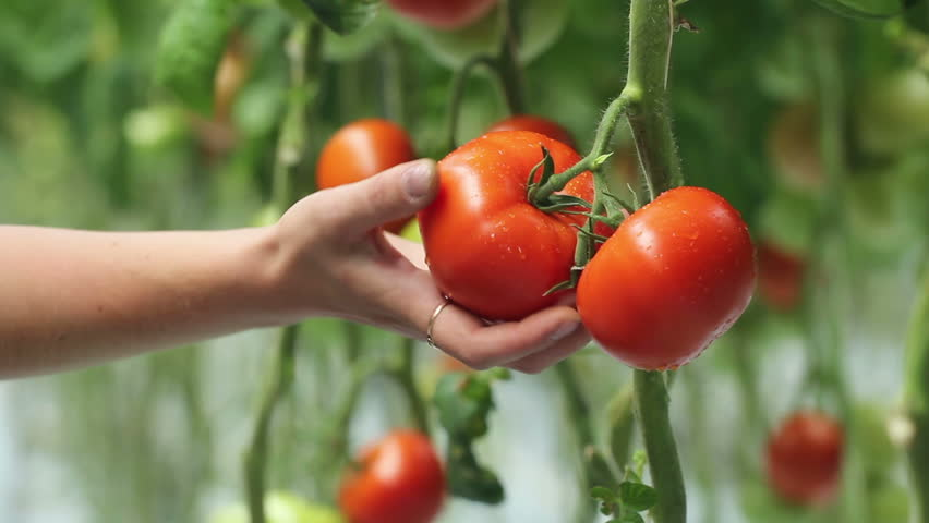 Harvesting of tomatoes | Shutterstock HD Video #3245461