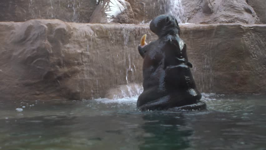 Slow motion of Pygmy Hippo take a bath and open the mouth, threatening sign of its aggressiveness inside the water at zoo. Defend a territory. Pygmy Hippopotamus is semi-aquatic mammal from Africa-Dan