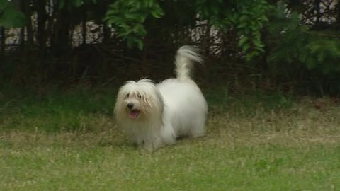 Coton de Tulear adult runs in yard an greets pup. The Coton has very soft white hair, comparable to a cotton ball.