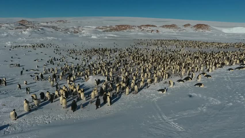 The colony of Imperial penguins stands in the snow near the Iceberg. Shooting from the air. Sunny day. Antarctic.