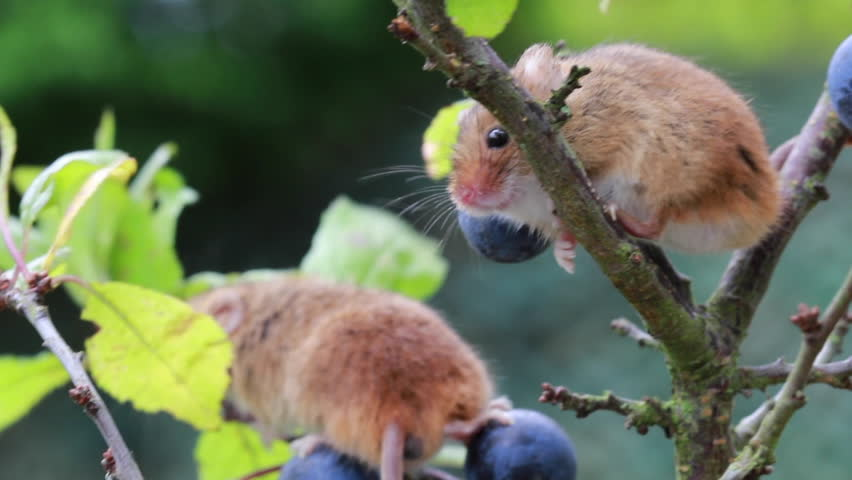 two cute harvest mice, mouse sniffing and moving on a sloe stem with blurred background