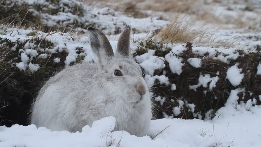 A Mountain Hare (Lepus timidus) in the snow in the Scottish highlands.