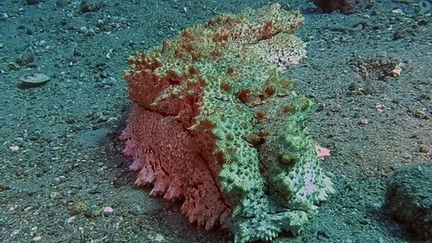 Large  sea cucumber rocking on sand in Togian islands, Indonesia. Sea cucumbers are echinoderms from the class Holothuroidea.