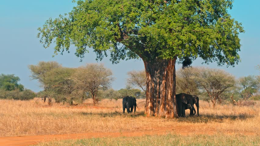Family of elephants cooling off in shadows under a tree, hiding from heat of scorching sun in colorful, dry savanna fields of Tarangire national park in Tanzania, Africa on a bright, hot, sunny day.