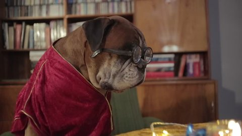 Boxer dog sitting on the armchair with funny eyeglasses.