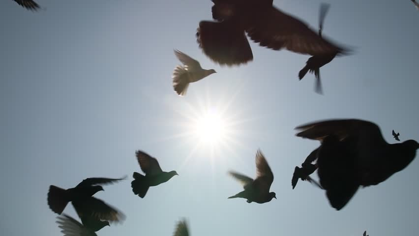 Pigeons flying in the blue sky, Slow motion. #32652319