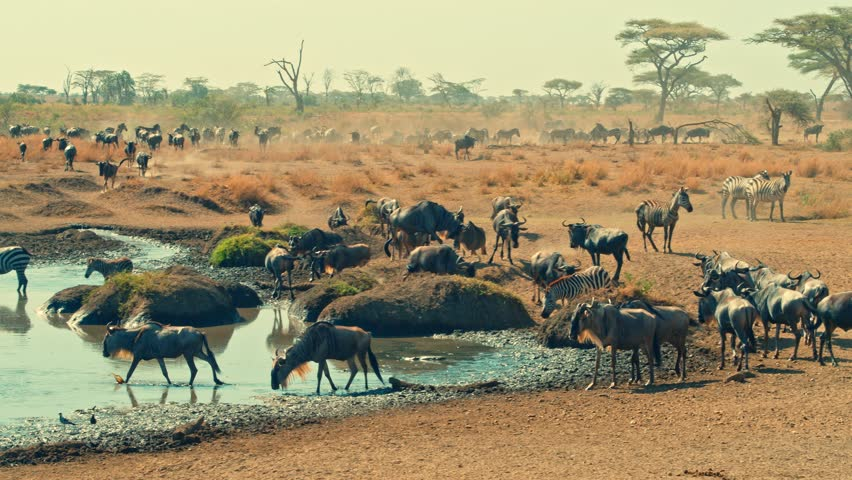 Cinematic shot of Great Migration of zebra and wildebeest by water well, drinking on a bright, hot, sunny day in colorful, dry savanna plains of Serengeti national park in Tanzania, Africa. | Shutterstock HD Video #32666689