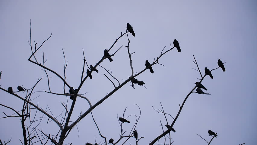 Crows taking off from tree | Shutterstock HD Video #32742559