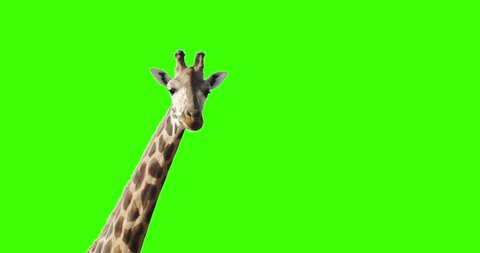 Green screen shot of a giraffe looking to the camera decides to exit frame right changes mind and exits from left.