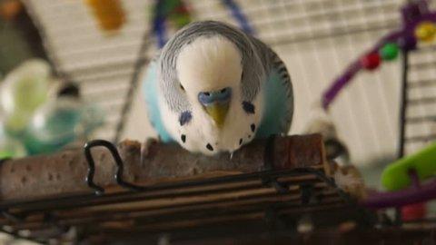 Blue budgie (Melopsittacus undulatus) shakes his head.