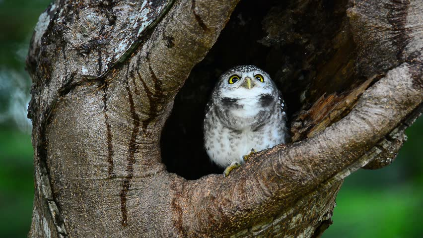 Cute owlet coming out from hole nest tree looking around . Owlet nest.