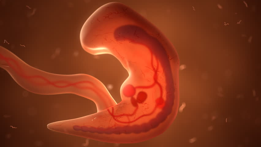 Human fetus with internal organs, development timelaps | Shutterstock HD Video #32814889