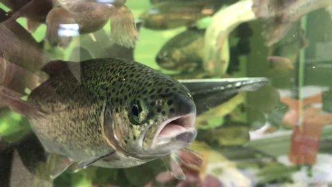 River trout and sturgeon float in a supermarket aquarium. Tackle of live fish. closeup.4k video