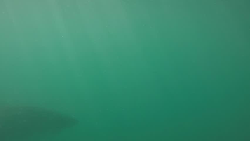 Great white shaerks off gansbaai, South Africa