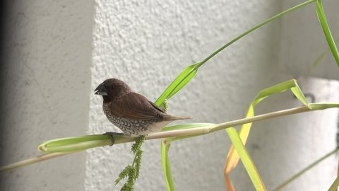 Scaly-brested munia bird eating grass seeds.