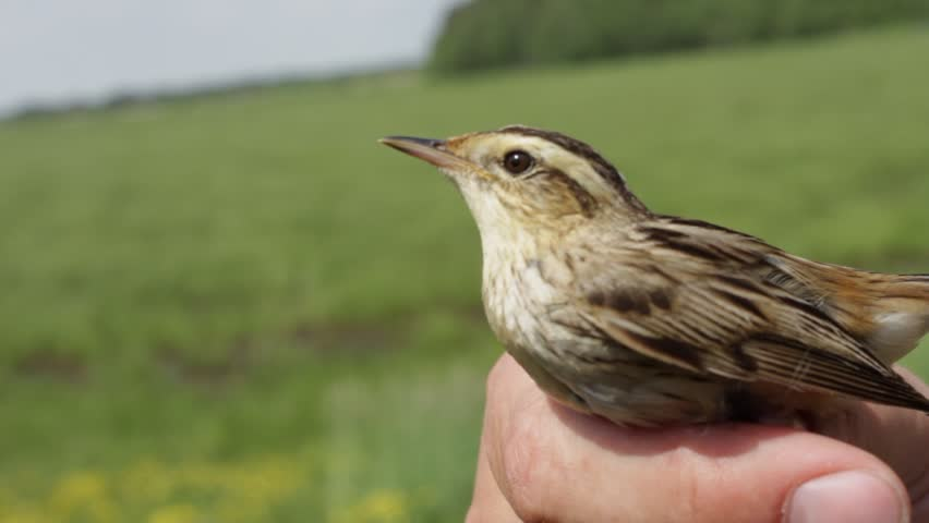 a ringed bird reed warbler in the hands of an ornithologist