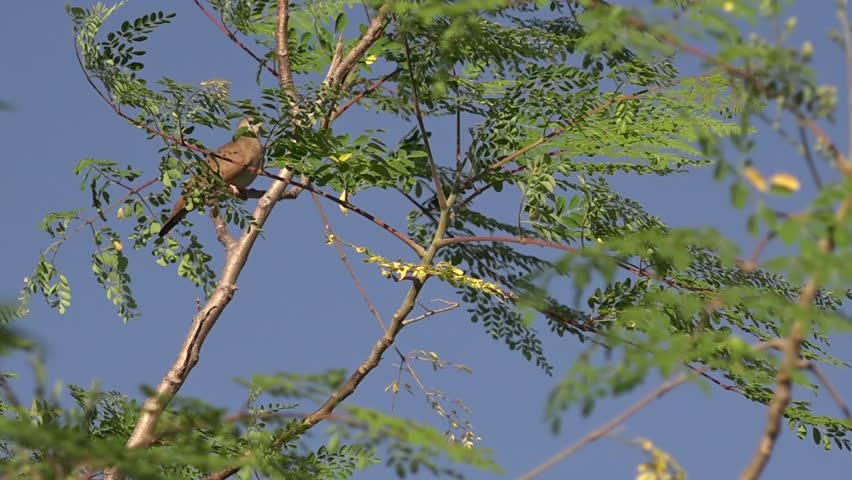 A dove meets its sweetheart in a moringa tree; then they sway together | Shutterstock HD Video #32882992