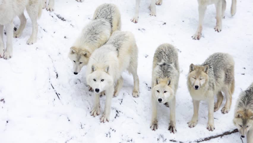 Arctic Wolf pack in snowy landscape looking into camera (Canis lupus arctos; Canon 5D Mark II)