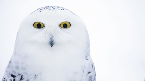 white owl with yellow eyes (shallow DOF; Canon 5D Mark II)