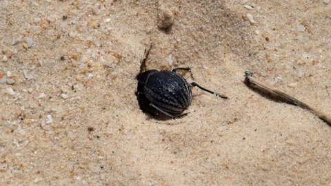 Desert darkling beetle very quickly digs a shelter in the sand (Pimelia bipunctata)