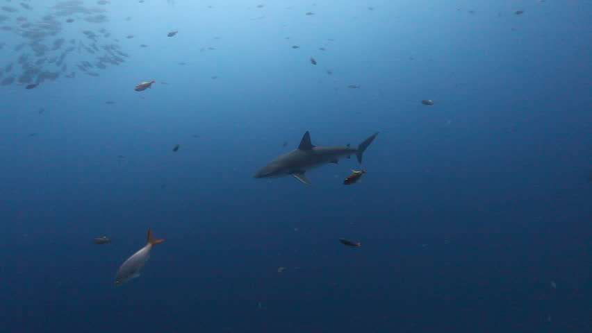 Big shark on background of school fish underwater in Pacific ocean. Unique amazing video footage. Abyssal relax diving. Natural aquarium of sea. Beautiful animals.