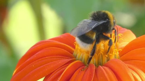 Bumblebee on orange flower calendula. Bumblebee (also written bumble bee) is member of genus Bombus, part of Apidae, one of bee families. Over 250 species of bumblebee are known.
