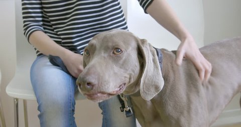 Weimaraner Dog at the vet