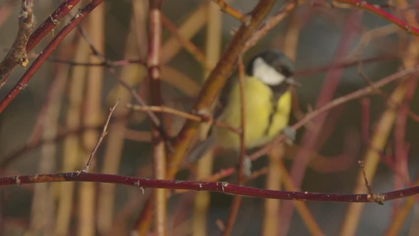 great tit bird distance unfocus fly into focus on branch beautiful winterlight