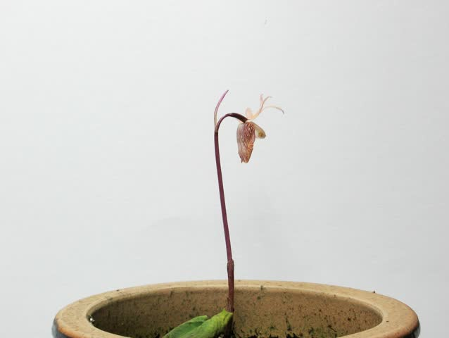Calypso Orchid Blooming Time-Lapse - This is the Northern American Calypso orchid (Calypso bulbosa) blooming from a small flower bud, being pollinated, and then producing a young seed pod.