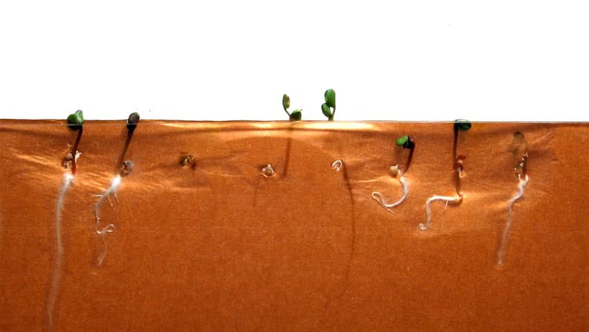 Radish Seed Time-Lapse - A time-lapse of radish seeds growing, with both the roots and shoots visible.
