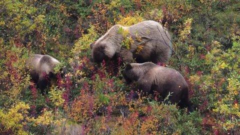 A Grizzly bear family feeding in Denali National Park, Alaska.